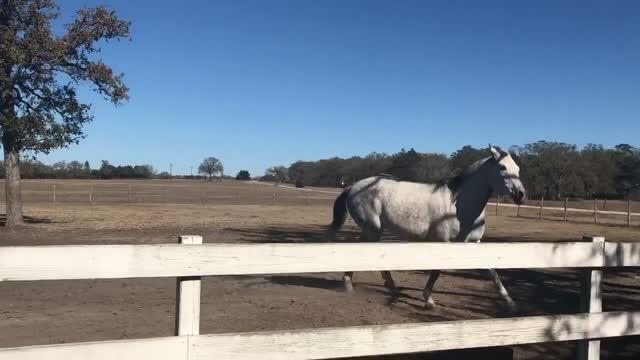 George, an adoptable Thoroughbred & Quarterhorse Mix in Brenham, TX