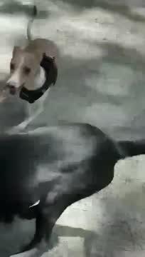 Natalia, an adopted Labrador Retriever Mix in Boston, MA_image-1