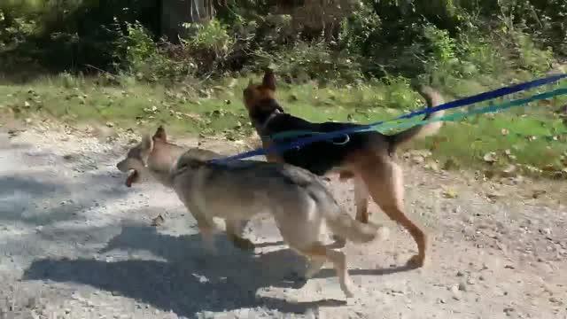 Joker, an adoptable German Shepherd Dog Mix in Jefferson City, MO_image-1