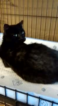 Gem, an adopted Tortoiseshell & Domestic Short Hair Mix in Miami, FL_image-1