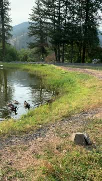 Happy Rouen Trio, an adoptable Duck in Jacksonville, OR_image-1