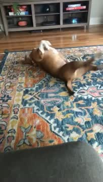 Preston, an adoptable Pit Bull Terrier Mix in Philadelphia, PA