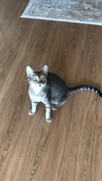 Taco, an adopted Domestic Short Hair in Warminster, PA