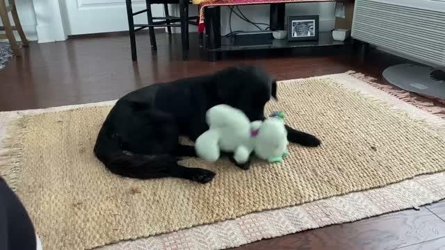 Aldo, an adopted Labrador Retriever & Golden Retriever Mix in Brooklyn, NY_image-1