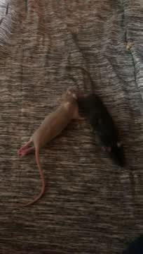 Abby & Lucy, an adopted Rat in Merrimack, NH_image-1
