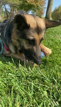 Clover, an adoptable German Shepherd Dog in Northville, MI