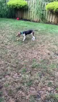 Joey, an adoptable Treeing Walker Coonhound in Cincinnati, OH_image-1