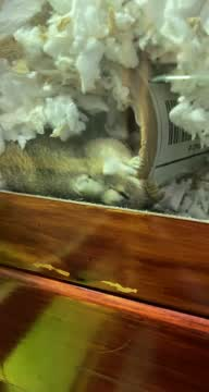 Flora & Fauna, an adopted Gerbil in Crofton, MD_image-1