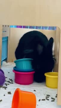 Trick, an adoptable Lionhead in New York, NY_image-1