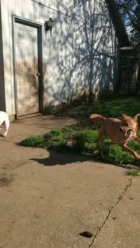 Herry, an adoptable Terrier & Labrador Retriever Mix in Portland, OR