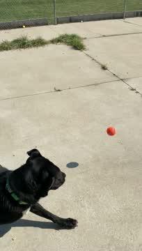 Maxwell, an adoptable Labrador Retriever Mix in Naperville, IL_image-1