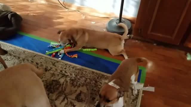 Nala, an adoptable Beagle & Chihuahua Mix in Darien, CT