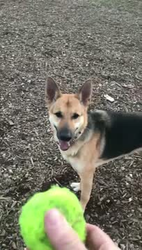 Tali, an adoptable German Shepherd Dog Mix in Jefferson City, MO_image-1