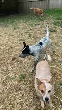 Wyatt, an adoptable Australian Cattle Dog / Blue Heeler Mix in Wilmington, DE_image-1