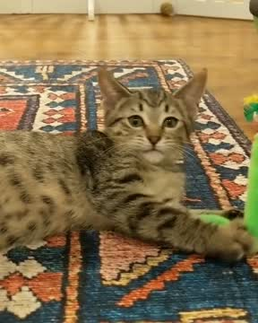 Mojito, an adopted Tabby in Overland Park, KS_image-1