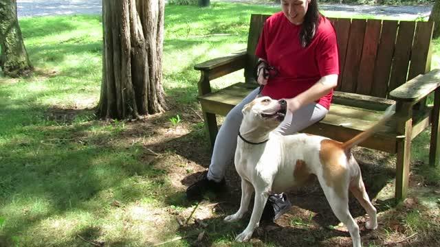 Honey, an adoptable Pit Bull Terrier in Lexington, VA_image-1