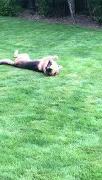 Hudson (Adoption Pending), an adopted German Shepherd Dog in Seattle, WA_image-1