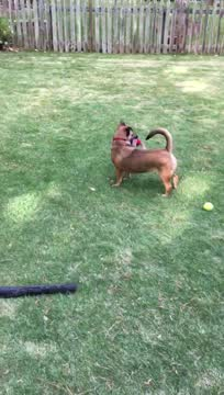 Scrappy Doo (Low Rider), an adopted Mixed Breed in Duluth, GA_image-1