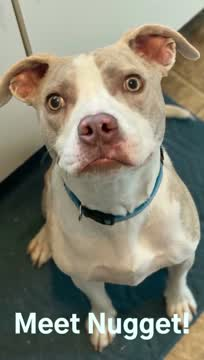Nugget, an adopted Pit Bull Terrier Mix in Overland Park, KS_image-1