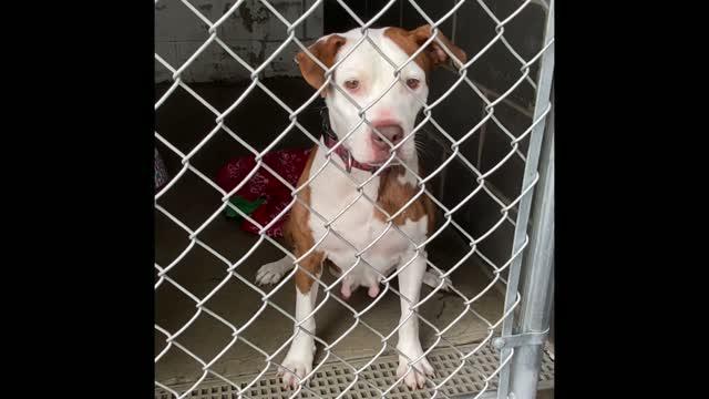 CHARLOTTE, an adoptable Pit Bull Terrier in Cranston, RI