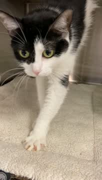 BELLA, an adopted Domestic Short Hair in Southbury, CT_image-1