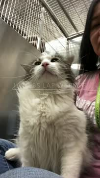 Tiger - no out of state, an adopted Maine Coon & Domestic Long Hair Mix in Seymour, CT_image-1
