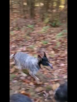 Pinn, an adoptable Australian Cattle Dog / Blue Heeler in Canton, NY