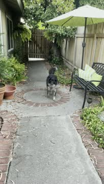 Lizzy, an adoptable Border Collie & Retriever Mix in San Diego, CA_image-1