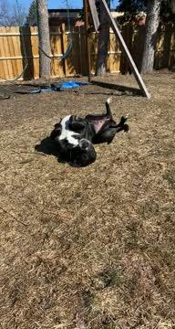 Amelia Grace, an adoptable Border Collie & Labrador Retriever Mix in Rochester, NY_image-1
