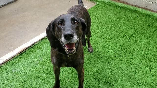 Scout (ADOPTED!), an adopted Plott Hound & Hound Mix in Chicago, IL_image-1
