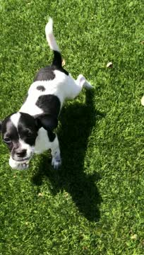 Oreo, an adoptable Terrier Mix in San Diego, CA_image-1
