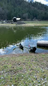 Clash, an adoptable Duck in Jacksonville, OR_image-1