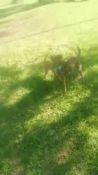 Rudy, an adopted Labrador Retriever & Dachshund Mix in San Diego, CA_image-1
