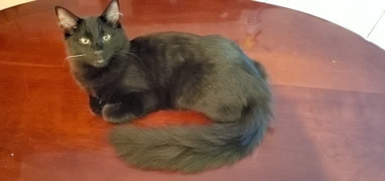 Lucky Honor - The Enchanting Beauty!, an adoptable Maine Coon Mix in Mission Viejo, CA_image-1