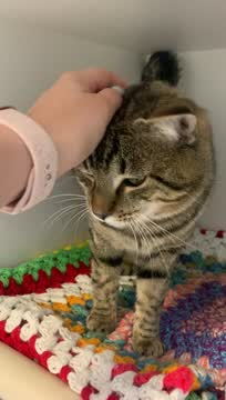 Skittle, an adopted Domestic Short Hair Mix in Columbus, NC_image-1
