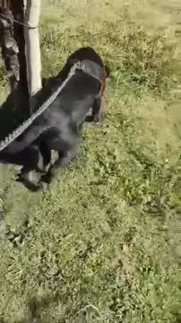 Shirley, an adoptable Black Labrador Retriever Mix in San Diego, CA_image-1