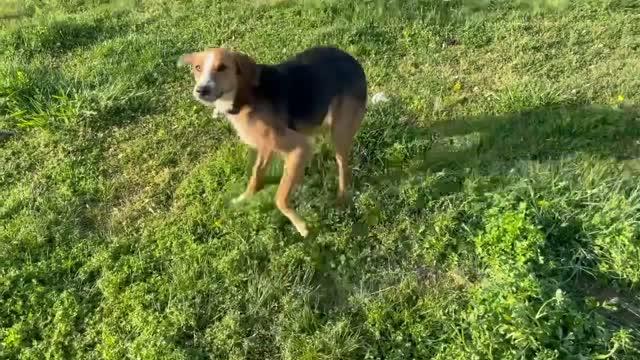 Lucas-Fostered in New England, an adoptable Labrador Retriever & Shepherd Mix in Willington, CT_image-1