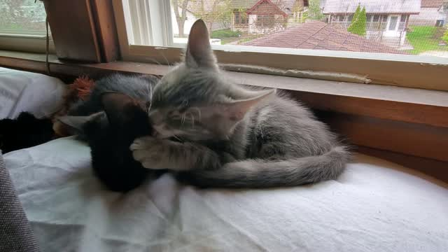Mike & Molly (Bonded Pair) - Pending Adoption, an adopted Tabby in Minneapolis, MN_image-1