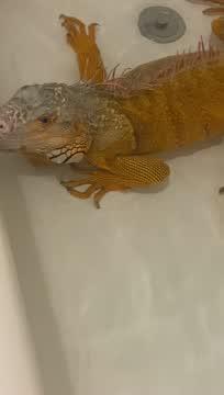 Zuko, an adoptable Iguana in Crofton, MD_image-1