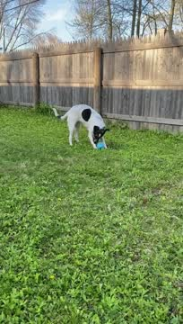 Liberty - $400, an adopted Labrador Retriever Mix in Milwaukee, WI_image-1