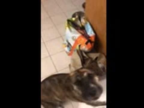 Lenny PR Sharpeaglit, an adoptable Beagle & Shar-Pei Mix in New York, NY_image-1