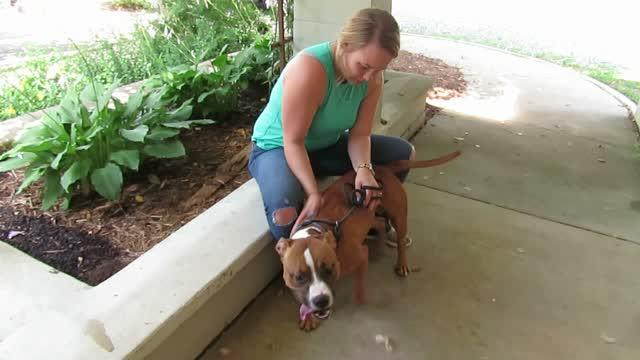 Haze, an adoptable Pit Bull Terrier Mix in Lexington, VA_image-1