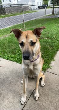 Ellie, an adoptable German Shepherd Dog Mix in Rochester, NY_image-1