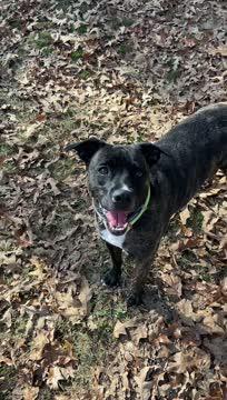 Denver, an adoptable Boxer & Labrador Retriever Mix in Tuscaloosa, AL_image-1