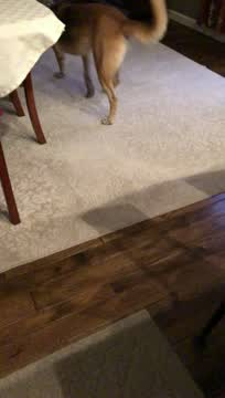 Charli, an adoptable German Shepherd Dog in Jefferson City, MO_image-1