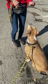 Stella- Adoption fee $25 Bissel Pet Promotion, an adoptable Pit Bull Terrier & Boxer Mix in Staten Island, NY_image-1