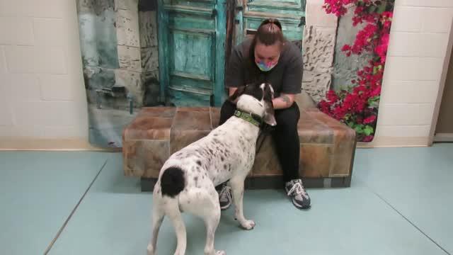 Donovan, an adoptable Bluetick Coonhound Mix in Lexington, VA_image-1