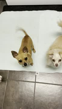 Ducky, an adoptable Chihuahua in Minneapolis, MN_image-1