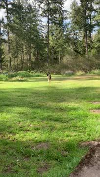 Bruno (Adoption Pending ), an adopted German Shepherd Dog in Seattle, WA_image-1