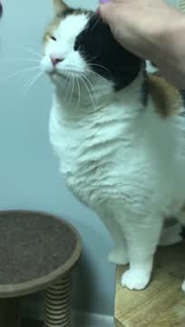 Scout, an adoptable Domestic Short Hair in Warminster, PA_image-1